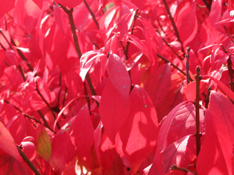Branch of Red Autumn Leaves