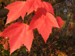 Branch of Red Fall Leaves