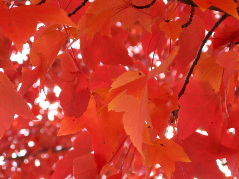 Branch of Red-Orange Leaves