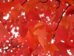 Branch of Red-Orange Leaves