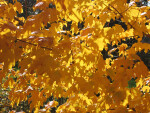 Branch of Yellow Autumn Leaves