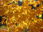 Branch of Yellow Leaves