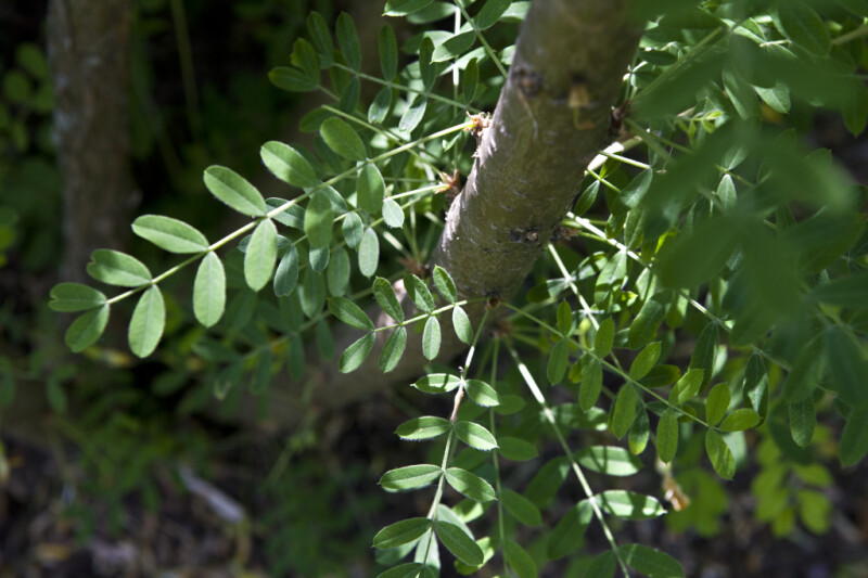 Branch with Pinnate Leaves of a Franchet Peashrub