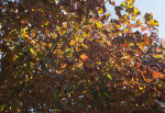 Branches and Leaves of a Maple Tree at Boyce Park