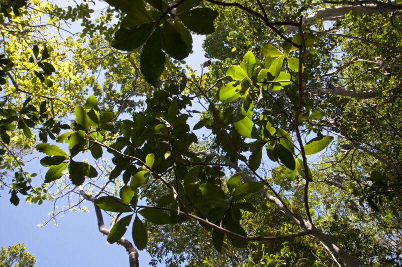 Branches and Leaves of a Marlberry Tree