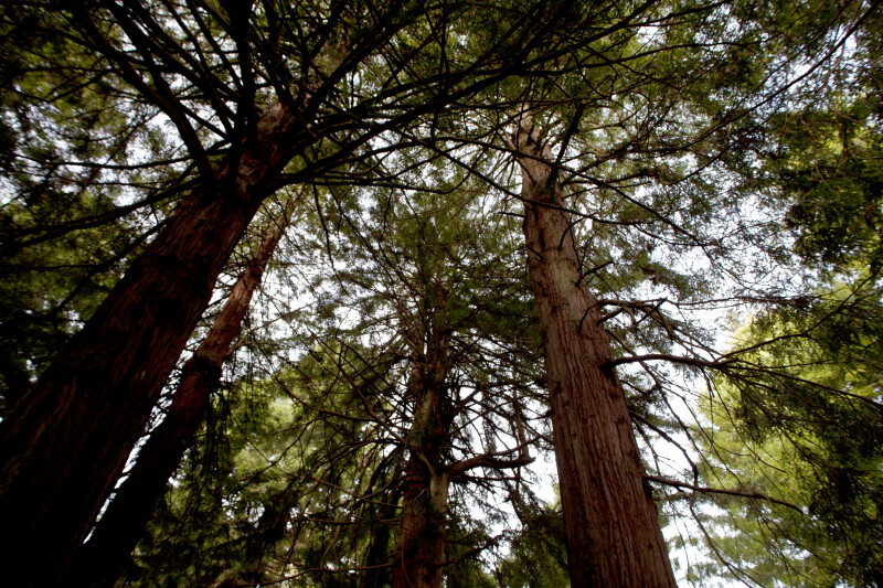 Branches and Trunks of Redwoods