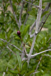 Branches, Leaves, and a Flower Bud of a Pomegranate Tree