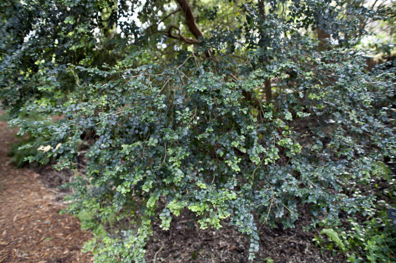 Branches of a Chilean Myrtle