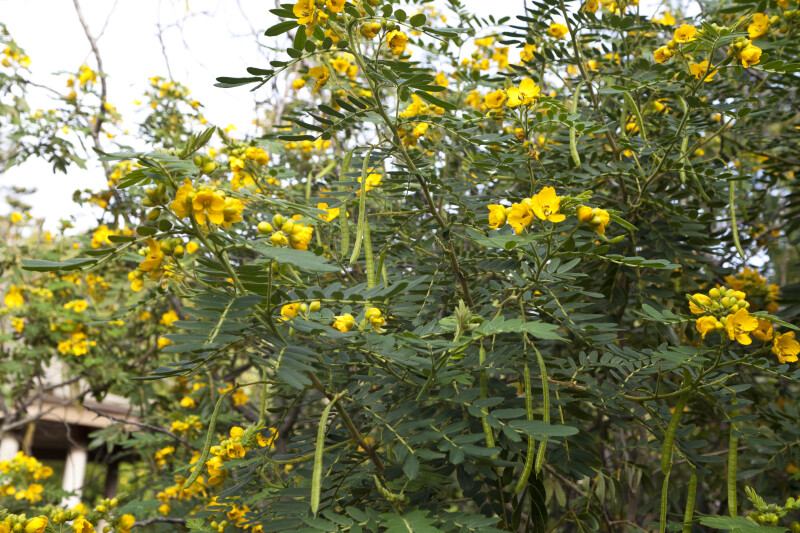 Branches of a Downy Senna