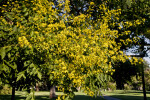 Branches of a Goldenrain Tree with Numerous Yellow Flowers
