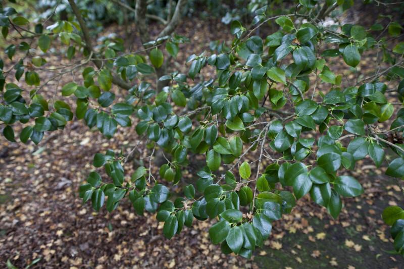 Branches of a Higo Red Camellia