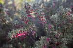 Branches of a Lavender Grevillea