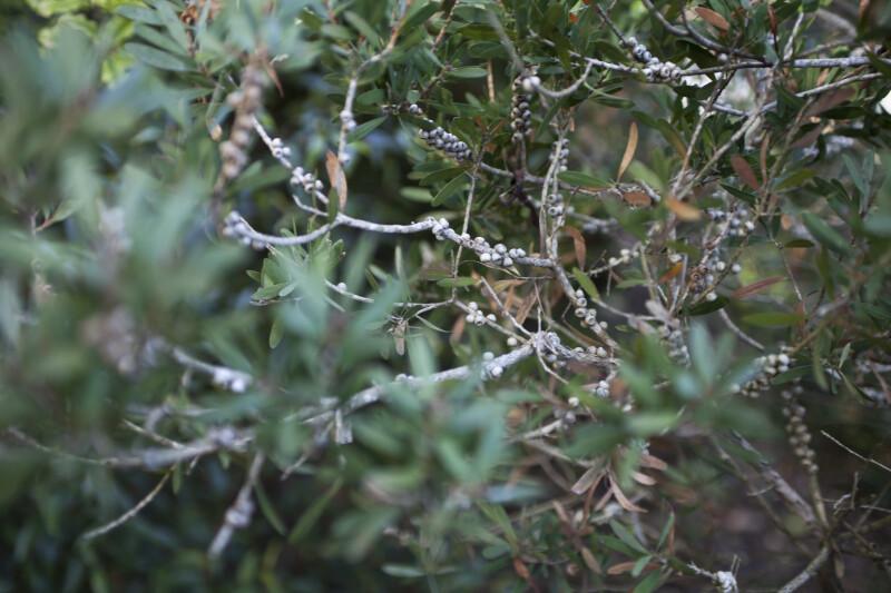 Branches of a Lemon Bottle Brush