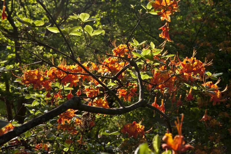 Branches of an Azalea