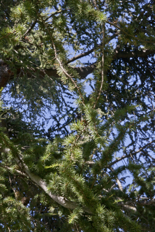 Branches of an Atlas Cedar