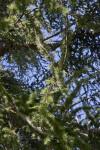 Branches of an Atlas Cedar