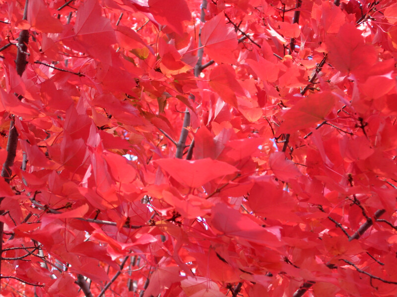 Branches of Bright Red Autumn Leaves