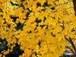 Branches of Bright Yellow Leaves