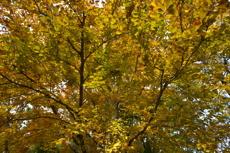 Branches of Copper Beech