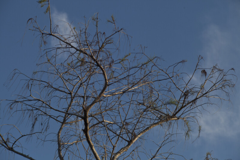 Branches of Dwarf Bald Cypress Pictured Against Blue Sky