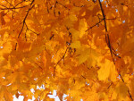 Branches of Golden Autumn Leaves
