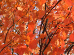 Branches of Orange Leaves