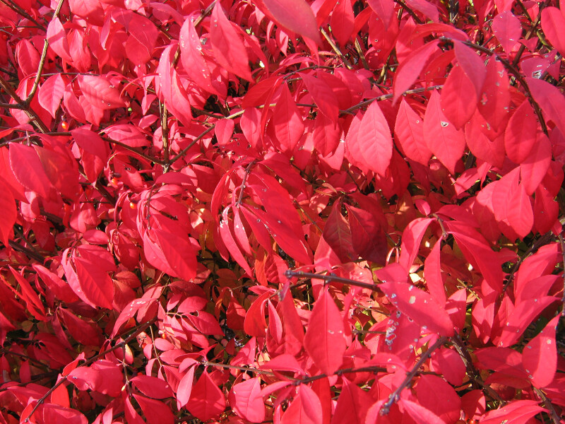 Branches of Red Autumn Leaves