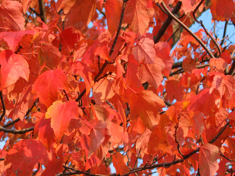 Branches of Red-Orange Leaves