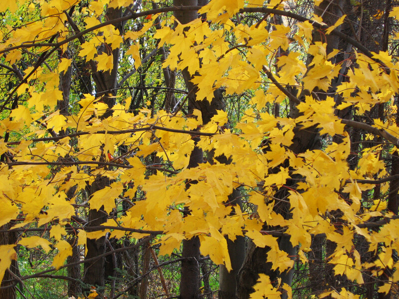 Branches of Yellow Leaves