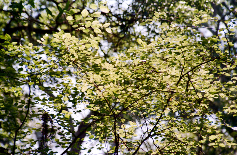 Branches with Small, Green Leaves