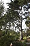 Branching Pine Trees