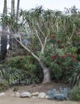 Branching Succulent Tree