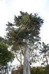 Branching Trees Behind Coniferous Tree