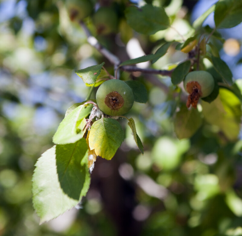 Brandywine® Crabapple Fruit