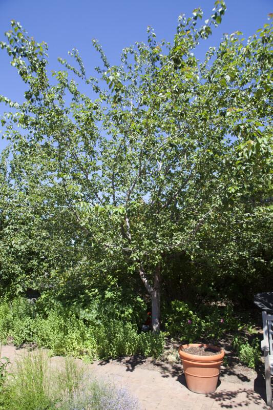 Brandywine® Crabapple Tree