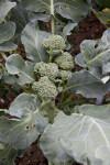 Brassica oleraceae Plant