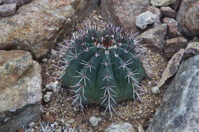 Brazilian Cactus