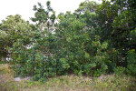 Brazilian Pepper-Tree at the Florida Campgrounds of Everglades National Park