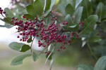 Brazilian Pepper-Tree Berries and Leaves