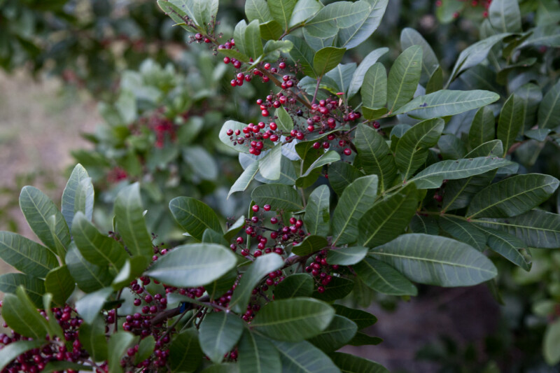 Brazilian Pepper-Tree Leaves and Berries