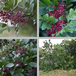 Brazilian Pepper-Trees photographs