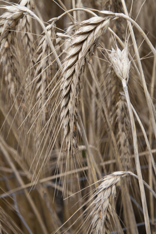 Bread Wheat x Rye
