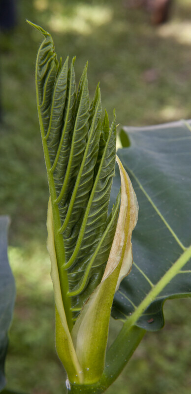 Breadfruit Stalk