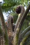 """Brentwood"" Australian Tree Fern Close-Up"