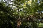 """""""Brentwood"""" Australian Tree Fern"""