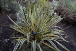 """Bright Edge"" Adam's Needle Yucca"