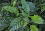 Bright-Green, Glossy Wild Coffee Leaves