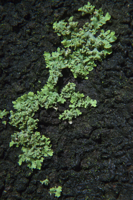 Bright Green Lichens on Darkly Colored Bark of a Tree