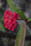 Bright Red Flowers of a Christ Plant