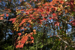 Bright Red Leaves on Branches of a Maple Tree